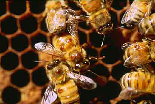 varroase des abeilles