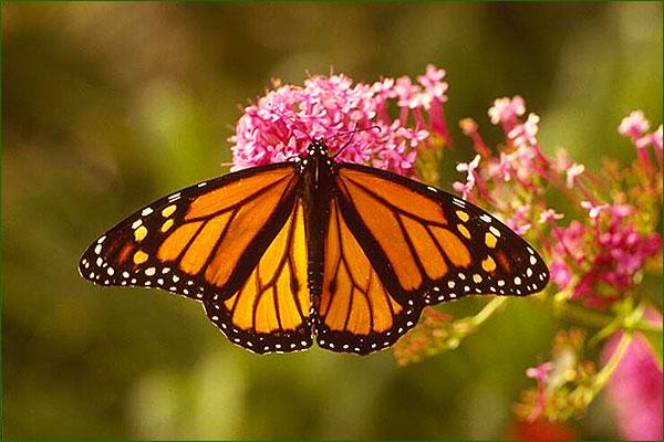 Et si c'était vrai! NG126_papillon-fleur-rose